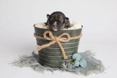 puppy158 week1 BowTiePomsky.com Bowtie Pomsky Puppy For Sale Husky Pomeranian Mini Dog Spokane WA Breeder Blue Eyes Pomskies Celebrity Puppy web1