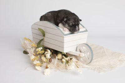 puppy158 week1 BowTiePomsky.com Bowtie Pomsky Puppy For Sale Husky Pomeranian Mini Dog Spokane WA Breeder Blue Eyes Pomskies Celebrity Puppy web2
