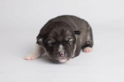 puppy158 week1 BowTiePomsky.com Bowtie Pomsky Puppy For Sale Husky Pomeranian Mini Dog Spokane WA Breeder Blue Eyes Pomskies Celebrity Puppy web7