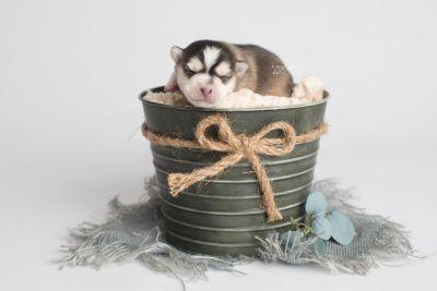 puppy159 week1 BowTiePomsky.com Bowtie Pomsky Puppy For Sale Husky Pomeranian Mini Dog Spokane WA Breeder Blue Eyes Pomskies Celebrity Puppy web1