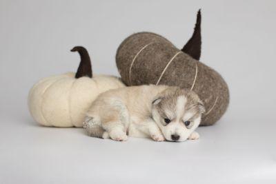 puppy159 week3 BowTiePomsky.com Bowtie Pomsky Puppy For Sale Husky Pomeranian Mini Dog Spokane WA Breeder Blue Eyes Pomskies Celebrity Puppy web4