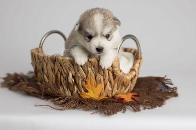 puppy159 week3 BowTiePomsky.com Bowtie Pomsky Puppy For Sale Husky Pomeranian Mini Dog Spokane WA Breeder Blue Eyes Pomskies Celebrity Puppy web5