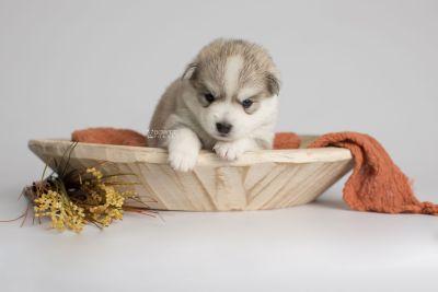 puppy159 week3 BowTiePomsky.com Bowtie Pomsky Puppy For Sale Husky Pomeranian Mini Dog Spokane WA Breeder Blue Eyes Pomskies Celebrity Puppy web6