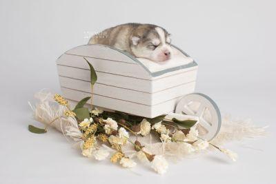 puppy160 week1 BowTiePomsky.com Bowtie Pomsky Puppy For Sale Husky Pomeranian Mini Dog Spokane WA Breeder Blue Eyes Pomskies Celebrity Puppy web3