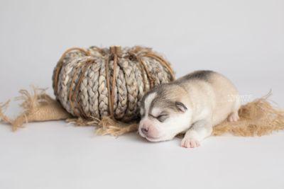 puppy160 week1 BowTiePomsky.com Bowtie Pomsky Puppy For Sale Husky Pomeranian Mini Dog Spokane WA Breeder Blue Eyes Pomskies Celebrity Puppy web4