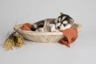 puppy160 week3 BowTiePomsky.com Bowtie Pomsky Puppy For Sale Husky Pomeranian Mini Dog Spokane WA Breeder Blue Eyes Pomskies Celebrity Puppy web3