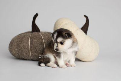 puppy160 week3 BowTiePomsky.com Bowtie Pomsky Puppy For Sale Husky Pomeranian Mini Dog Spokane WA Breeder Blue Eyes Pomskies Celebrity Puppy web4