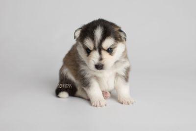 puppy160 week3 BowTiePomsky.com Bowtie Pomsky Puppy For Sale Husky Pomeranian Mini Dog Spokane WA Breeder Blue Eyes Pomskies Celebrity Puppy web6