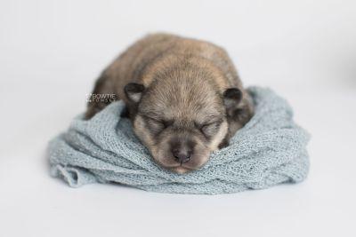 puppy162 week1 BowTiePomsky.com Bowtie Pomsky Puppy For Sale Husky Pomeranian Mini Dog Spokane WA Breeder Blue Eyes Pomskies Celebrity Puppy web2