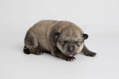 puppy162 week1 BowTiePomsky.com Bowtie Pomsky Puppy For Sale Husky Pomeranian Mini Dog Spokane WA Breeder Blue Eyes Pomskies Celebrity Puppy web6
