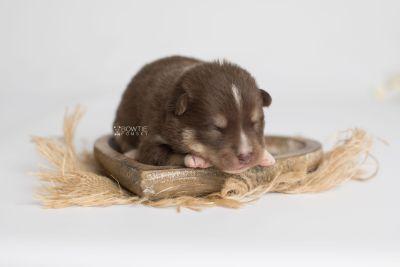puppy163 week1 BowTiePomsky.com Bowtie Pomsky Puppy For Sale Husky Pomeranian Mini Dog Spokane WA Breeder Blue Eyes Pomskies Celebrity Puppy web6