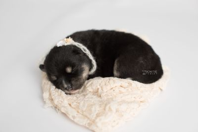 puppy164 week1 BowTiePomsky.com Bowtie Pomsky Puppy For Sale Husky Pomeranian Mini Dog Spokane WA Breeder Blue Eyes Pomskies Celebrity Puppy web2