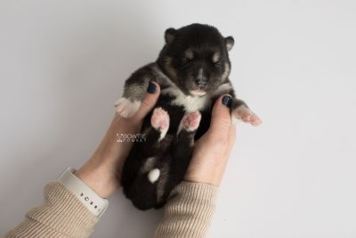 puppy164 week1 BowTiePomsky.com Bowtie Pomsky Puppy For Sale Husky Pomeranian Mini Dog Spokane WA Breeder Blue Eyes Pomskies Celebrity Puppy web8
