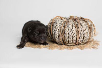 puppy166 week1 BowTiePomsky.com Bowtie Pomsky Puppy For Sale Husky Pomeranian Mini Dog Spokane WA Breeder Blue Eyes Pomskies Celebrity Puppy web5
