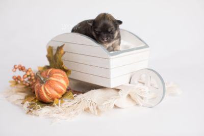 puppy168 week1 BowTiePomsky.com Bowtie Pomsky Puppy For Sale Husky Pomeranian Mini Dog Spokane WA Breeder Blue Eyes Pomskies Celebrity Puppy web3