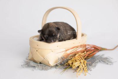 puppy168 week1 BowTiePomsky.com Bowtie Pomsky Puppy For Sale Husky Pomeranian Mini Dog Spokane WA Breeder Blue Eyes Pomskies Celebrity Puppy web4