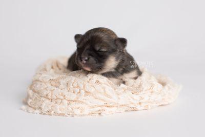 puppy168 week1 BowTiePomsky.com Bowtie Pomsky Puppy For Sale Husky Pomeranian Mini Dog Spokane WA Breeder Blue Eyes Pomskies Celebrity Puppy web7