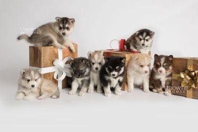 puppy153-160 week5 BowTiePomsky.com Bowtie Pomsky Puppy For Sale Husky Pomeranian Mini Dog Spokane WA Breeder Blue Eyes Pomskies Celebrity Puppy web3
