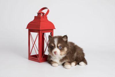 puppy153 week5 BowTiePomsky.com Bowtie Pomsky Puppy For Sale Husky Pomeranian Mini Dog Spokane WA Breeder Blue Eyes Pomskies Celebrity Puppy web3