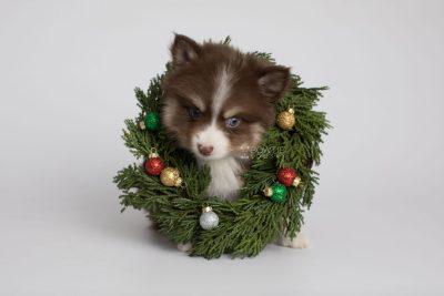 puppy153 week7 BowTiePomsky.com Bowtie Pomsky Puppy For Sale Husky Pomeranian Mini Dog Spokane WA Breeder Blue Eyes Pomskies Celebrity Puppy web4