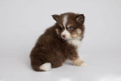 puppy153 week7 BowTiePomsky.com Bowtie Pomsky Puppy For Sale Husky Pomeranian Mini Dog Spokane WA Breeder Blue Eyes Pomskies Celebrity Puppy web8