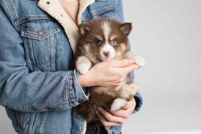 puppy153 week7 BowTiePomsky.com Bowtie Pomsky Puppy For Sale Husky Pomeranian Mini Dog Spokane WA Breeder Blue Eyes Pomskies Celebrity Puppy web9
