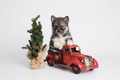 puppy154 week5 BowTiePomsky.com Bowtie Pomsky Puppy For Sale Husky Pomeranian Mini Dog Spokane WA Breeder Blue Eyes Pomskies Celebrity Puppy web2