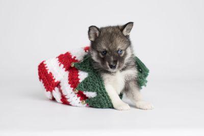 puppy154 week5 BowTiePomsky.com Bowtie Pomsky Puppy For Sale Husky Pomeranian Mini Dog Spokane WA Breeder Blue Eyes Pomskies Celebrity Puppy web3