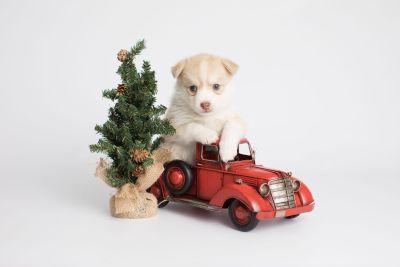 puppy155 week5 BowTiePomsky.com Bowtie Pomsky Puppy For Sale Husky Pomeranian Mini Dog Spokane WA Breeder Blue Eyes Pomskies Celebrity Puppy web5