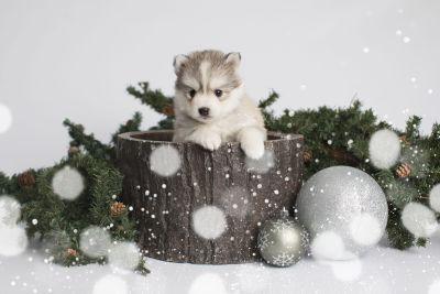 puppy156 week5 BowTiePomsky.com Bowtie Pomsky Puppy For Sale Husky Pomeranian Mini Dog Spokane WA Breeder Blue Eyes Pomskies Celebrity Puppy web1