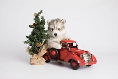 puppy156 week5 BowTiePomsky.com Bowtie Pomsky Puppy For Sale Husky Pomeranian Mini Dog Spokane WA Breeder Blue Eyes Pomskies Celebrity Puppy web2