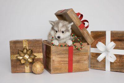 puppy156 week7 BowTiePomsky.com Bowtie Pomsky Puppy For Sale Husky Pomeranian Mini Dog Spokane WA Breeder Blue Eyes Pomskies Celebrity Puppy web1