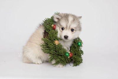 puppy156 week7 BowTiePomsky.com Bowtie Pomsky Puppy For Sale Husky Pomeranian Mini Dog Spokane WA Breeder Blue Eyes Pomskies Celebrity Puppy web3