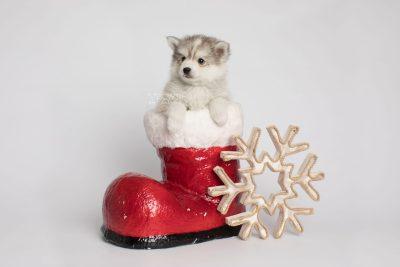 puppy156 week7 BowTiePomsky.com Bowtie Pomsky Puppy For Sale Husky Pomeranian Mini Dog Spokane WA Breeder Blue Eyes Pomskies Celebrity Puppy web8