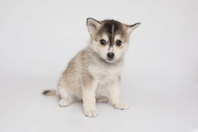puppy157 week7 BowTiePomsky.com Bowtie Pomsky Puppy For Sale Husky Pomeranian Mini Dog Spokane WA Breeder Blue Eyes Pomskies Celebrity Puppy web4