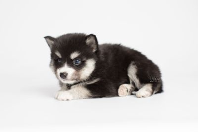 puppy158 week5 BowTiePomsky.com Bowtie Pomsky Puppy For Sale Husky Pomeranian Mini Dog Spokane WA Breeder Blue Eyes Pomskies Celebrity Puppy web6