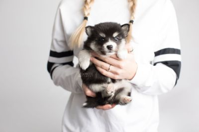 puppy158 week5 BowTiePomsky.com Bowtie Pomsky Puppy For Sale Husky Pomeranian Mini Dog Spokane WA Breeder Blue Eyes Pomskies Celebrity Puppy web7