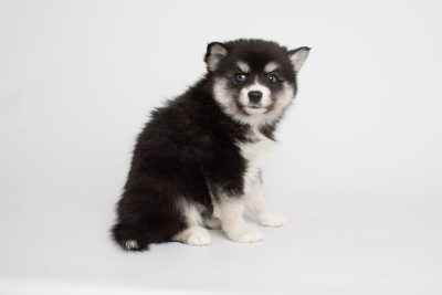 puppy158 week7 BowTiePomsky.com Bowtie Pomsky Puppy For Sale Husky Pomeranian Mini Dog Spokane WA Breeder Blue Eyes Pomskies Celebrity Puppy web4