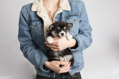 puppy158 week7 BowTiePomsky.com Bowtie Pomsky Puppy For Sale Husky Pomeranian Mini Dog Spokane WA Breeder Blue Eyes Pomskies Celebrity Puppy web7