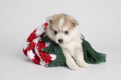 puppy159 week5 BowTiePomsky.com Bowtie Pomsky Puppy For Sale Husky Pomeranian Mini Dog Spokane WA Breeder Blue Eyes Pomskies Celebrity Puppy web4