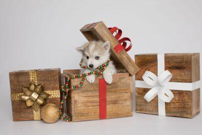 puppy159 week7 BowTiePomsky.com Bowtie Pomsky Puppy For Sale Husky Pomeranian Mini Dog Spokane WA Breeder Blue Eyes Pomskies Celebrity Puppy web2
