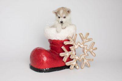 puppy159 week7 BowTiePomsky.com Bowtie Pomsky Puppy For Sale Husky Pomeranian Mini Dog Spokane WA Breeder Blue Eyes Pomskies Celebrity Puppy web7