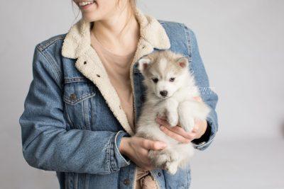 puppy159 week7 BowTiePomsky.com Bowtie Pomsky Puppy For Sale Husky Pomeranian Mini Dog Spokane WA Breeder Blue Eyes Pomskies Celebrity Puppy web8
