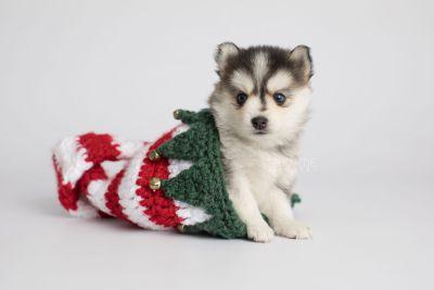 puppy160 week5 BowTiePomsky.com Bowtie Pomsky Puppy For Sale Husky Pomeranian Mini Dog Spokane WA Breeder Blue Eyes Pomskies Celebrity Puppy web6