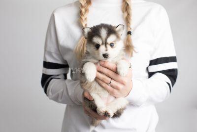 puppy160 week5 BowTiePomsky.com Bowtie Pomsky Puppy For Sale Husky Pomeranian Mini Dog Spokane WA Breeder Blue Eyes Pomskies Celebrity Puppy web8