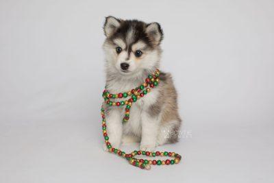 puppy160 week7 BowTiePomsky.com Bowtie Pomsky Puppy For Sale Husky Pomeranian Mini Dog Spokane WA Breeder Blue Eyes Pomskies Celebrity Puppy web6