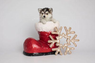 puppy160 week7 BowTiePomsky.com Bowtie Pomsky Puppy For Sale Husky Pomeranian Mini Dog Spokane WA Breeder Blue Eyes Pomskies Celebrity Puppy web7