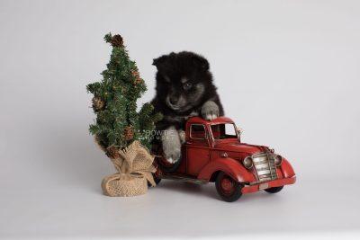 puppy161 week5 BowTiePomsky.com Bowtie Pomsky Puppy For Sale Husky Pomeranian Mini Dog Spokane WA Breeder Blue Eyes Pomskies Celebrity Puppy web1