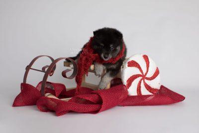 puppy161 week5 BowTiePomsky.com Bowtie Pomsky Puppy For Sale Husky Pomeranian Mini Dog Spokane WA Breeder Blue Eyes Pomskies Celebrity Puppy web4