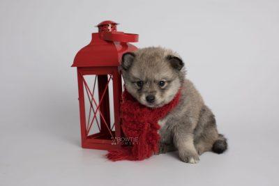 puppy162 week5 BowTiePomsky.com Bowtie Pomsky Puppy For Sale Husky Pomeranian Mini Dog Spokane WA Breeder Blue Eyes Pomskies Celebrity Puppy web2